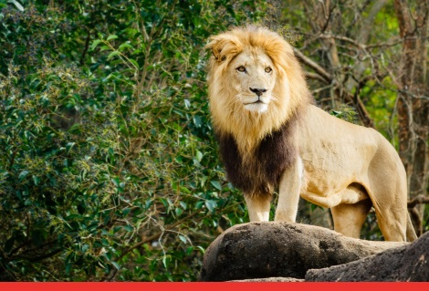 Atlanta Zoo Lion