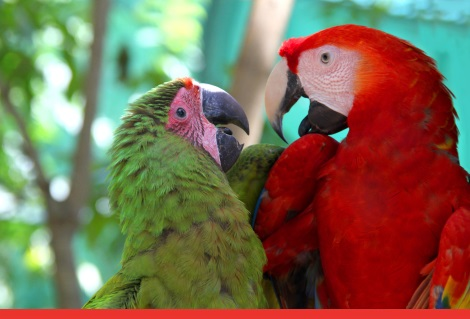 Macaw love - A red & a green parrot looking lovingly towards each other & talking, Roatan, Honduras, Central America. (Macaw love - A red & a green parrot looking lovingly towards each other & talking, Roatan, Honduras, Central America., ASCII, 118 co