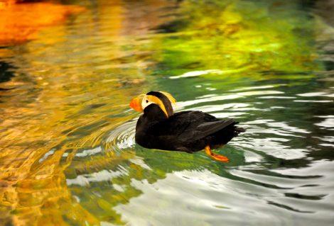 Exotic bird swimming.