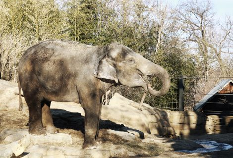 A small elephant at st. Louis zoo